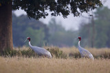 couple of Sarus Crane bird in Teraï , Nepal poster