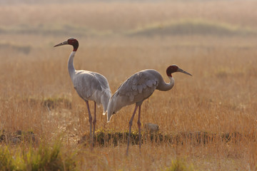 Couple of sarus crane in morning time, Teraï , Nepal