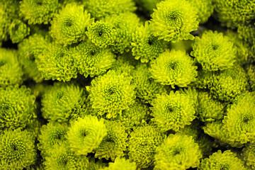 Fresh green chrysanthemums