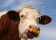 portrait de vache normande