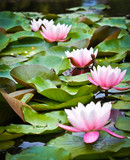 Detail view of four pink water lilies