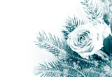 Pink roses and christmas tree branches on white background