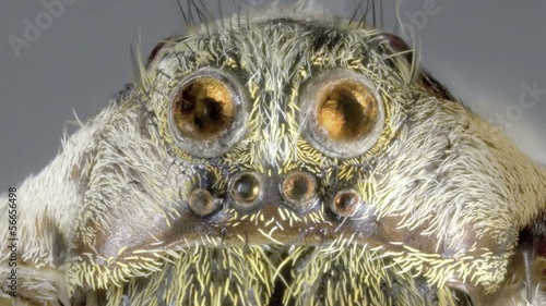 Jumping Wolf Spider Magnification