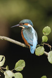 European kingfisher, Alcedo atthis