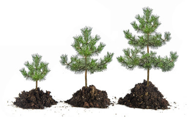 Growth of pines