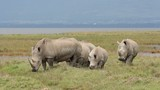 White rhinoceros, Lake Nakuru National Park, Kenya