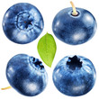 Four blueberries with leaf/ File contains clipping paths.