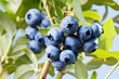 Blueberries on a shrub.