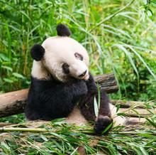 Panda géant mangeant le bambou