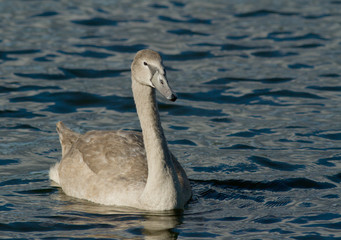 Young Muted Swan