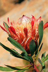 Pretty protea flower