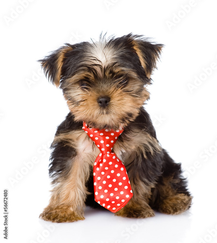 Yorkshire Terrier puppy with tie sitting in front. isolated