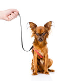 hand holding a Russian toy terrier puppy on a leash. isolated