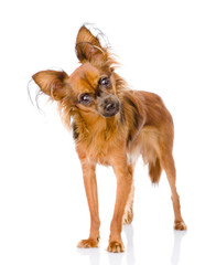 Russian toy terrier looking curiously at the camera. isolated