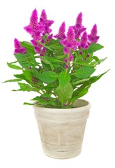 A potted cockscomb celosia spicata plant on a white background