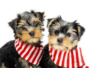 Two Yorkshire terrier puppies with scarfs