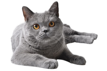 gray shorthair cat
