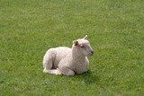 Small lamb in a field