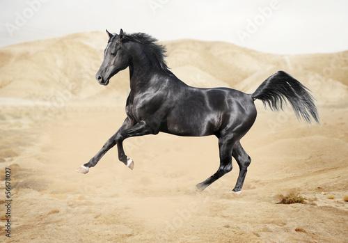 Purebred white arabian horse in desert