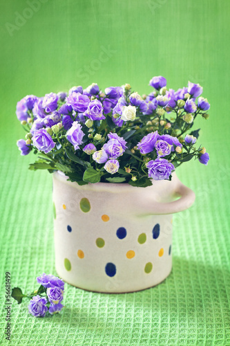 Campanula purple flowers in a pot on a green background