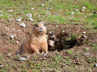 Prairie dog in the hole closeup view