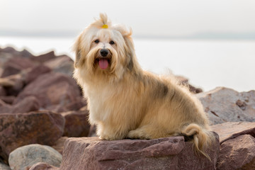 Cute Havanese dog is sitting on some harbor rocks