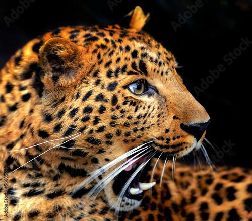 Fototapeten,leopard discus,tier,portrait,biest