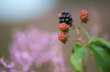 Bramble berries and heath