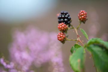 Bramble berries and heath