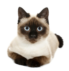 Brown beige cat with blue eyes