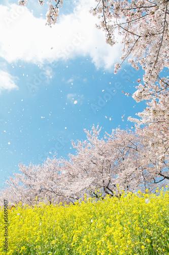 Fotobehang Kersen 桜吹雪の春の風景
