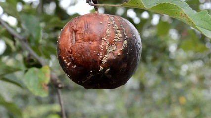 rotten apple hanging on a branch