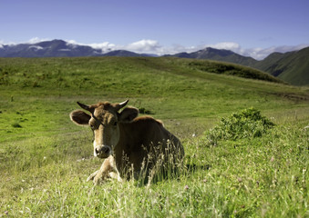 Cow is resting on a background of mountain landscape