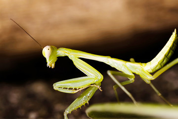 green praying mantis for adv or others purpose use