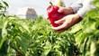 Farmer Holding Red Pepper in a Pepper Field