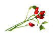 Rose-hips berry branch