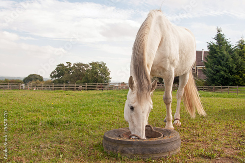 Grey horse having his dinner