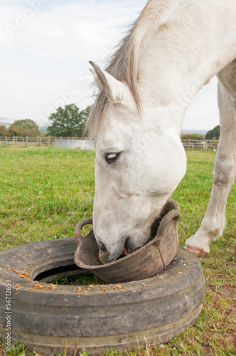 Horse eating from a bucket