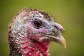 Portrait image of turkey head close up