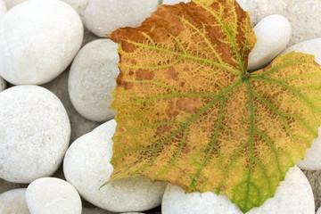 Dry Vine Leaf