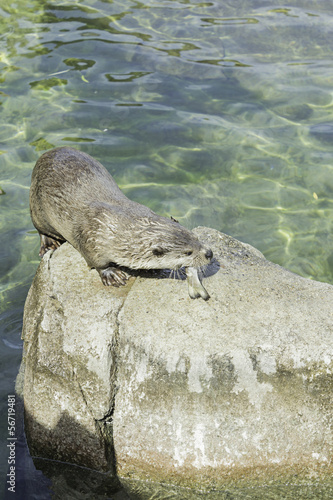 Otter eating fish
