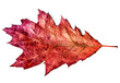 red autumn oak leaf isolated