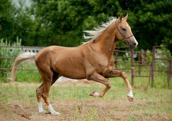 golden palomino akhal-teke horse runs free