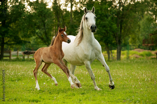 Mother and Baby Arabian Horses running
