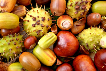 Acorns, conkers, horse chestnut cases and beechnuts