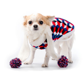 Chihuahua dog wearing bright turtleneck sweater and scarf