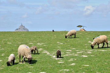 sheeps in a meadow near the Mont Saint Michel in Normandie