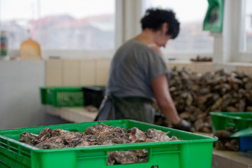 Oyster farmer cleans his produce, Bassin d'Arcachon region