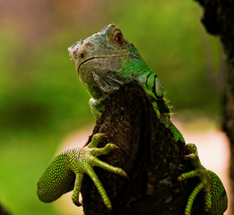 portrait about a green iguana