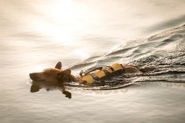 dog wearing a floation jacket swimming at sunset